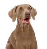 weimaraner的接近的狗 库存图片