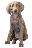 Weimaraner 02 d'isolement Photographie stock