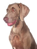 Weimaraner 03 Stock Photography