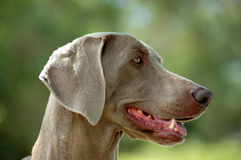 Weimaraner. A beautiful Weimaraner dog head portrait with cute expression in the face watching other dogs in the park outdoors Stock Photography