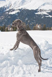 Weimaraner Stock Photography