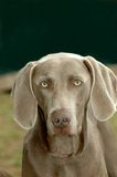 Weimaraner. A beautiful Weimaraner dog head portrait with cute expression in the face watching other dogs in the park Stock Images