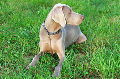 Weimaraner. Portrait of a purebred Weimaraner dog on green background Stock Photo