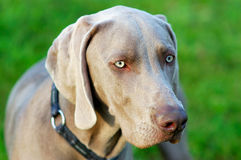 Weimaraner. Portrait of a purebred Weimaraner dog on green background Stock Image