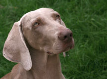 The Weimaraner Stock Images