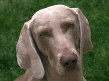 The Weimaraner Stock Photo