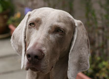 The Weimaraner Royalty Free Stock Image