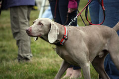 Weimaraner. Dog in the working stance of point Stock Image