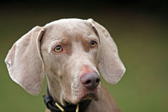 Weimaraner. Close up portrait of a beautiful Weimaraner Royalty Free Stock Photography
