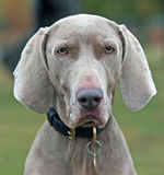 Weimaraner Stockfotos