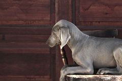 Weimaraner Royalty Free Stock Photo