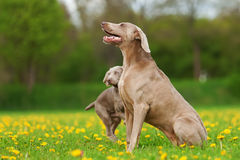 Weimaraner adult dog and puppy outdoors Stock Photography