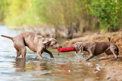 Weimaraner adult and puppy fighting for treat bag Royalty Free Stock Images
