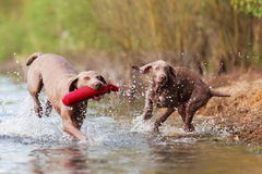 Weimaraner adult and puppy run in a lake Stock Photos