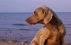 Weimaraner on the beach Stock Photo