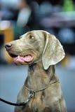 Weimaraner. A beautiful Weimaraner dog head portrait Royalty Free Stock Photo