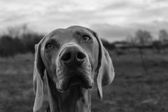 Weimaraner Stock Photos