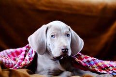 Weimaraner blauw puppy Royalty-vrije Stock Afbeeldingen