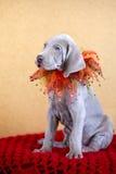 Weimaraner blauw puppy Royalty-vrije Stock Afbeelding