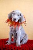 Weimaraner blauw puppy Stock Afbeelding