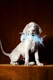 Weimaraner blue puppy Royalty Free Stock Photos
