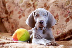 Weimaraner blue puppy Royalty Free Stock Photography