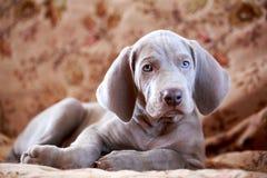 Weimaraner blue puppy. Indoor portrait Royalty Free Stock Photography