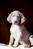 Weimaraner blue puppy Stock Image
