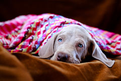 Weimaraner blue puppy Stock Photo