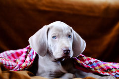 Weimaraner blue puppy. Indoor portrait Royalty Free Stock Images