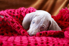 Weimaraner blue puppy Stock Images