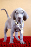 Weimaraner blue puppy Royalty Free Stock Photo