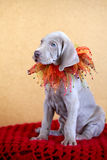 Weimaraner blue puppy Royalty Free Stock Image