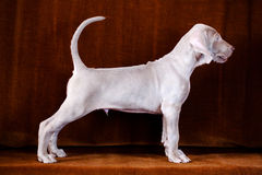 Weimaraner blue puppy Stock Photos