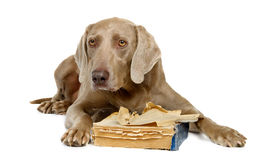 Weimaraner with book Royalty Free Stock Images