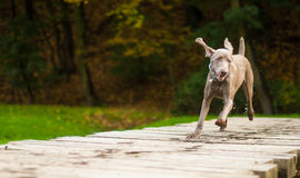 Weimaraner bread running on bridge Royalty Free Stock Photos