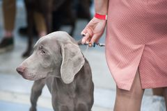 Weimaraner breed dog Royalty Free Stock Images
