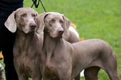 Weimaraner breed dogs couple. At show Royalty Free Stock Photography