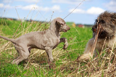 Weimaraner and briard. Puppy plays Royalty Free Stock Photos