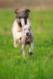 Weimaraner and briard. Puppy plays Stock Images