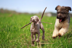 Weimaraner and briard. Puppy plays Royalty Free Stock Image