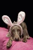 Weimaraner bunny. Cute Weimaraner dog with bunny ears Royalty Free Stock Photo