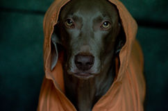 Weimaraner, das einen orange Mantel trägt Lizenzfreie Stockfotos