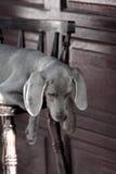 Weimaraner del cane Fotografia Stock