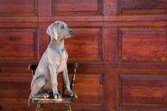 Weimaraner del cane Fotografie Stock Libere da Diritti