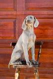 Weimaraner del cane Immagini Stock Libere da Diritti