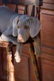 Weimaraner del perro Imagenes de archivo