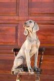 Weimaraner del perro Imagen de archivo libre de regalías