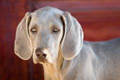 Weimaraner del perro Foto de archivo libre de regalías