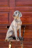 Weimaraner del perro Fotografía de archivo libre de regalías